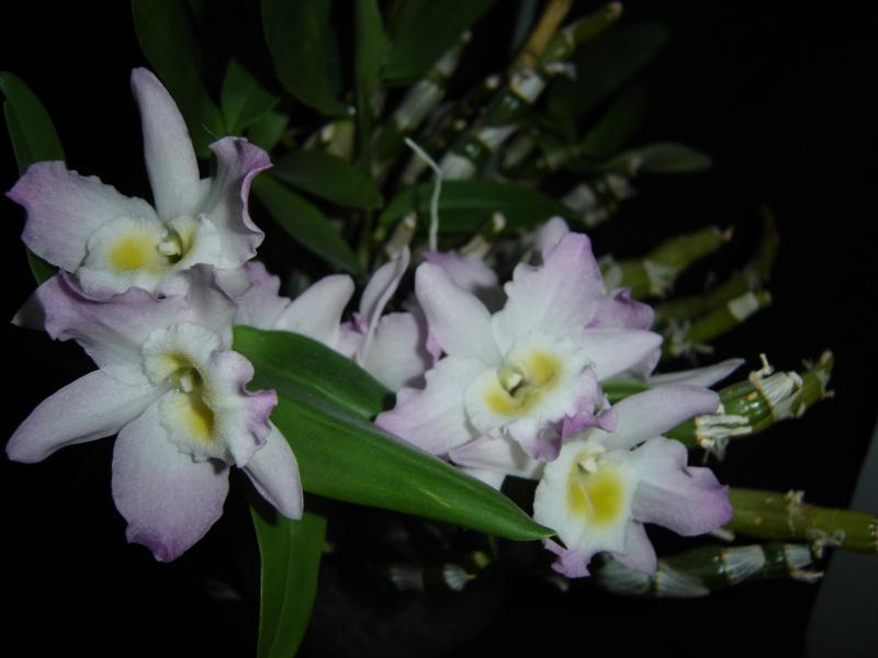 Dendrobium nobile (hybride) 702523phalminimarkdendronobile25janvier2017010