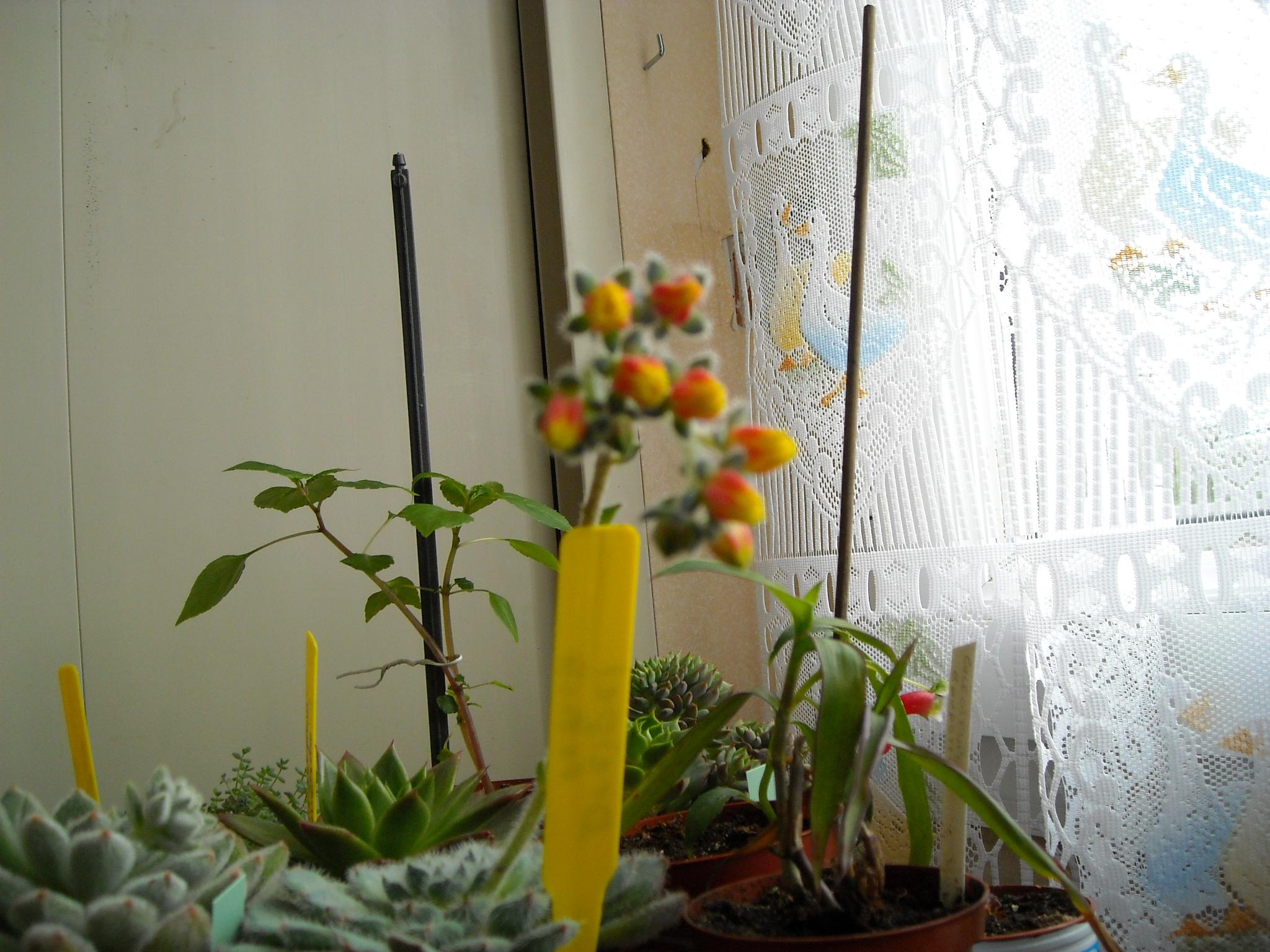 Echeveria pulidonis 706181echeveria008