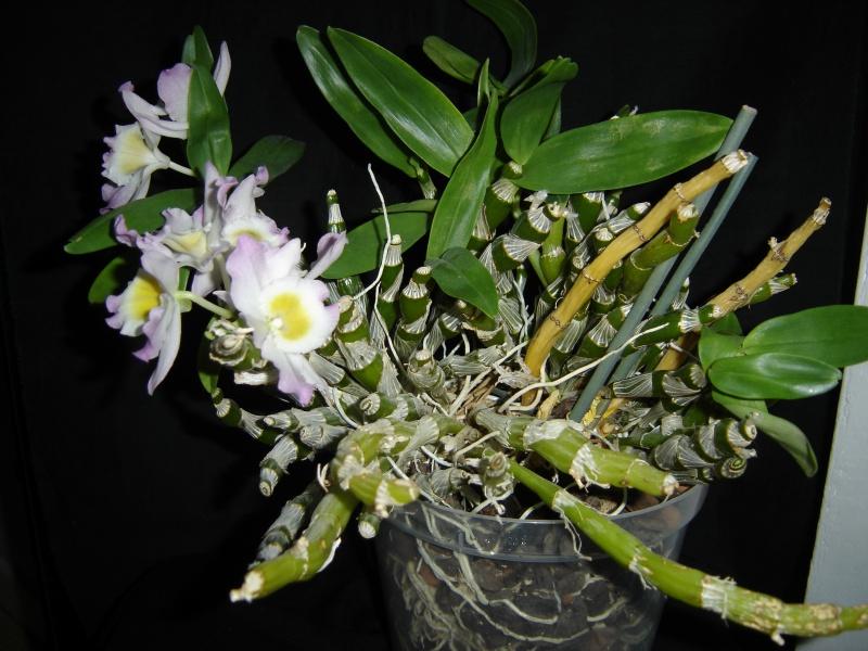 Dendrobium nobile (hybride) 708238phalminimarkdendronobile25janvier2017007