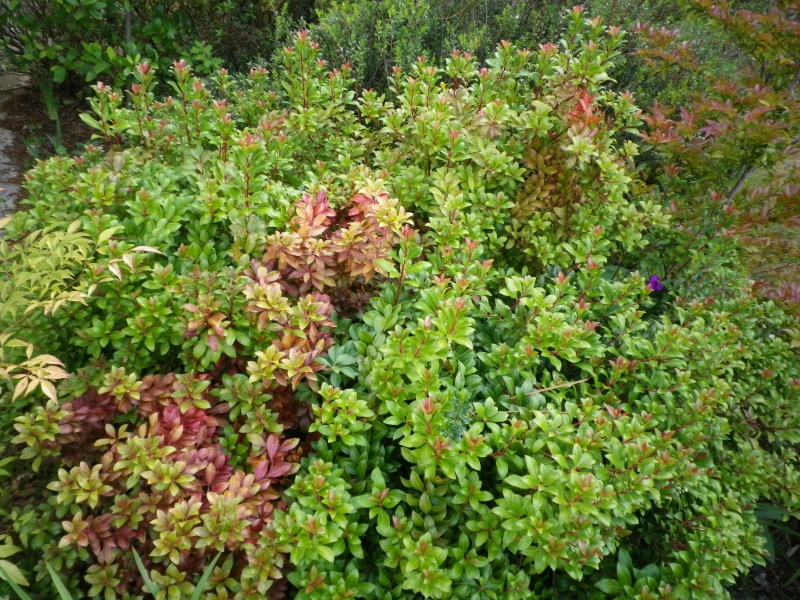 Pieris japonica 'Little Heath Green' 712334IMGP9870