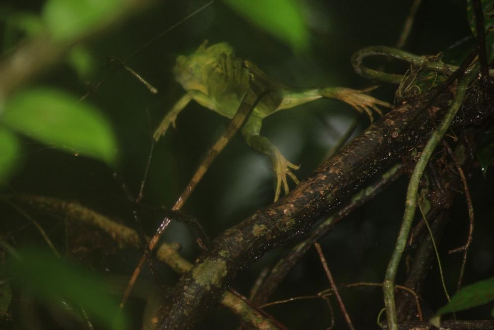 15 jours dans la jungle du Costa Rica 716742plumifrons4r