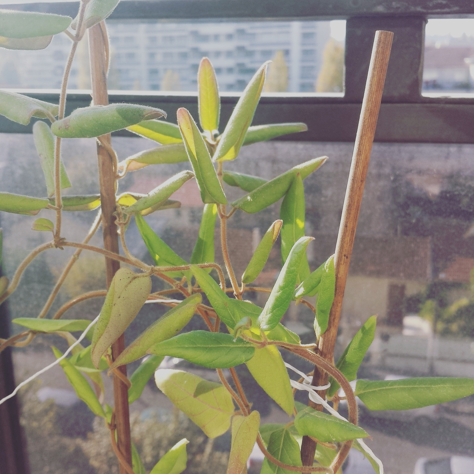 Chèvrefeuille, feuilles enroulées / jaunatres 718535IMG20151031132303