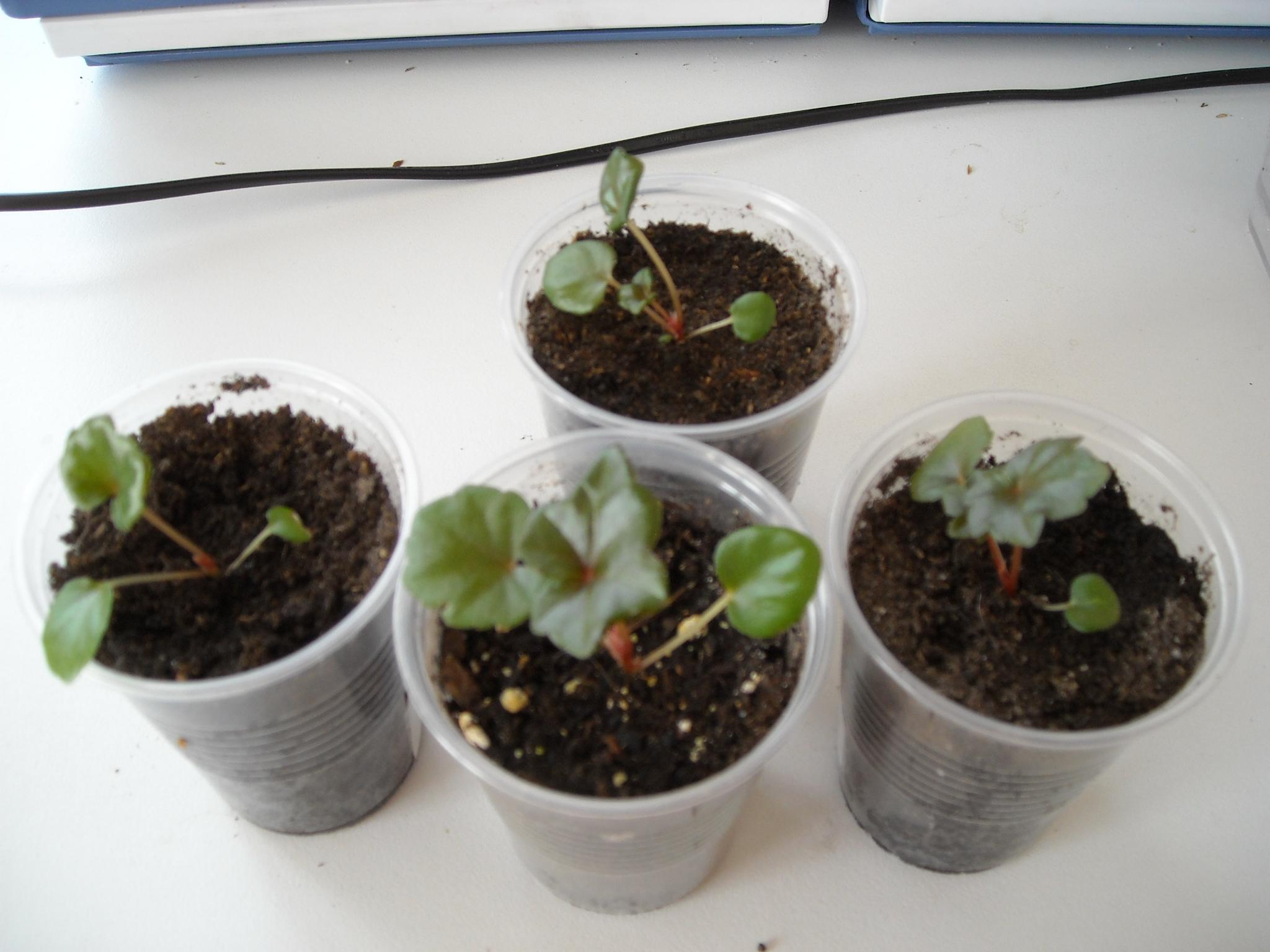semis de bégonias 719441partita001