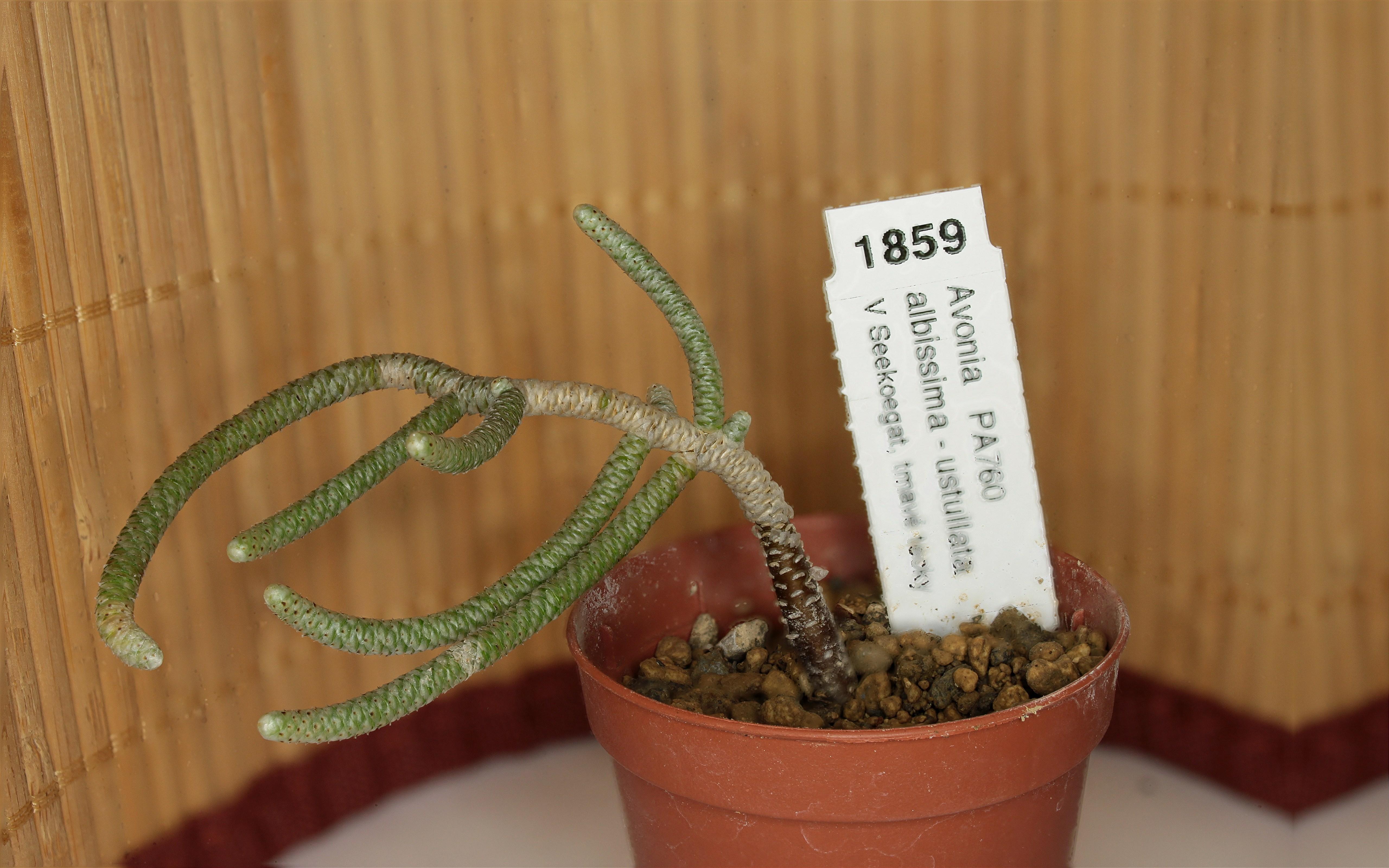 Présentation d'un Avonia albissima ustullata (Succulente) 720002Avoniaalbissimaustullata17