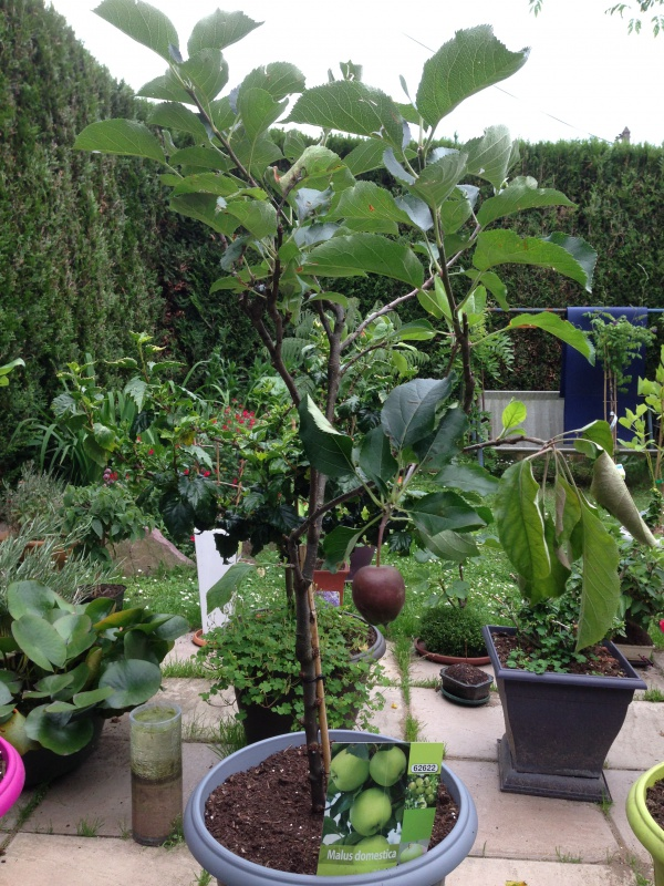 Les Arbres Fruitiers Nains! 722716IMG5633