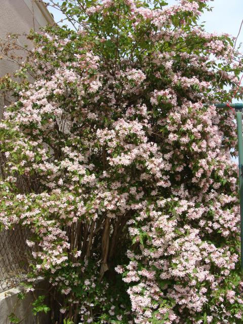 kolkwitzia amabilis 723297ardeche002