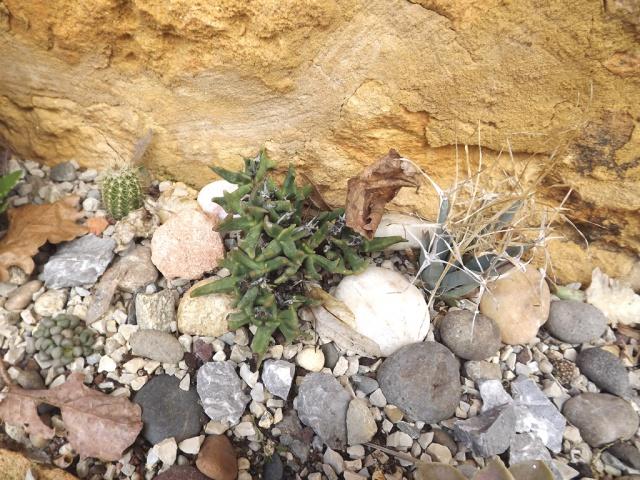 rusticité des cactus et succulentes en extérieur - listes - Page 2 725113rocaillefac807ade3