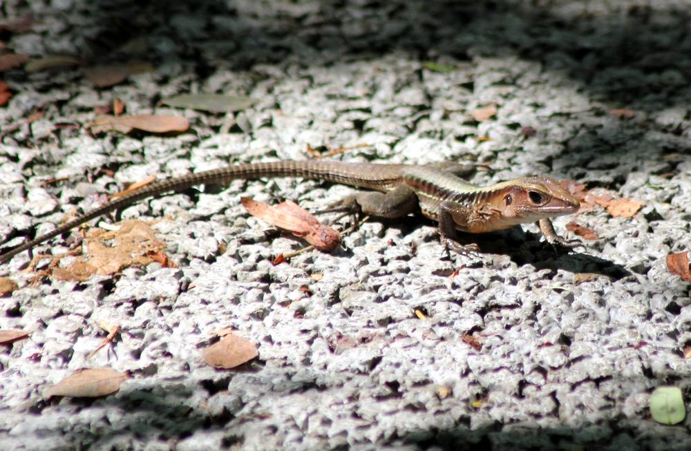 15 jours dans la jungle du Costa Rica 727051ameiva1