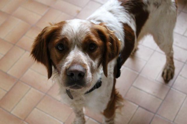 Trouvé !! recherche co voiturage  pour  chien (sortie de fourrière ) de Ploeren à Ducey  727885IMG1129