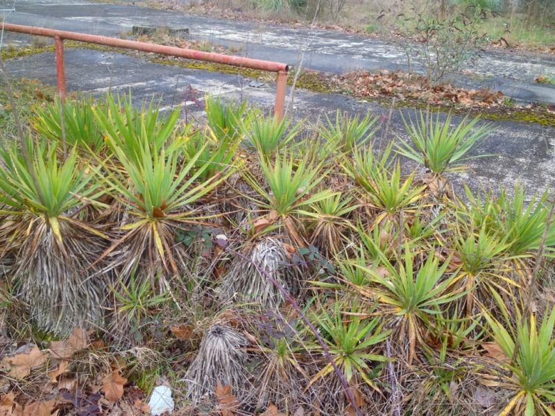Yucca gloriosa - Page 2 733815yucca2