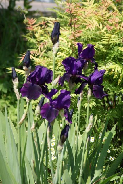 Associer nos iris à d'autres plantes pour de beaux massifs - Page 2 734467063