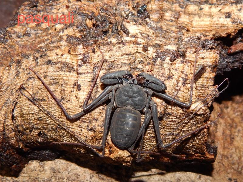 "Damon variegatus et Stygophrynus sp ""Sulawesi"". 737593RSCN0929"