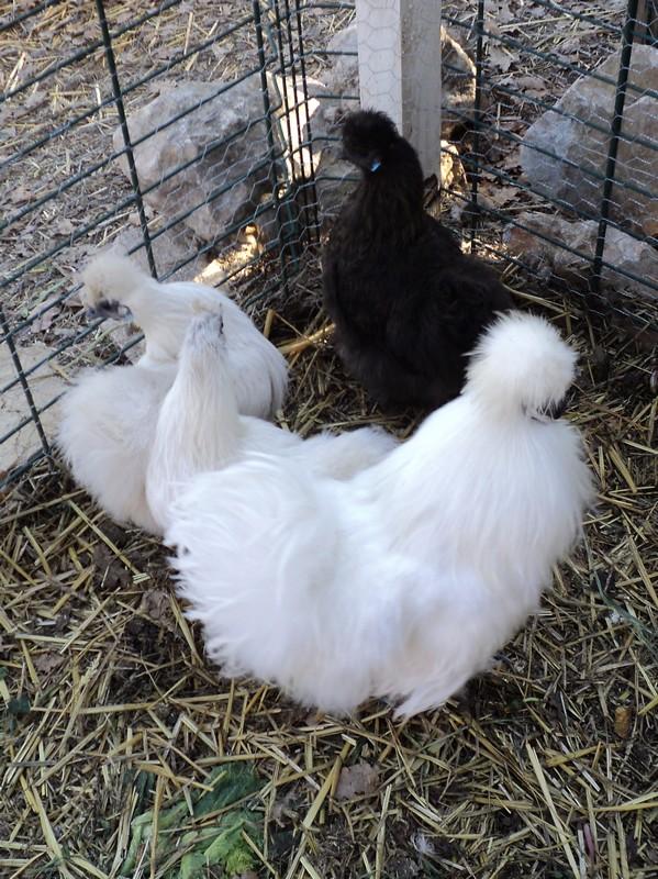 Mes poules soie 738683002