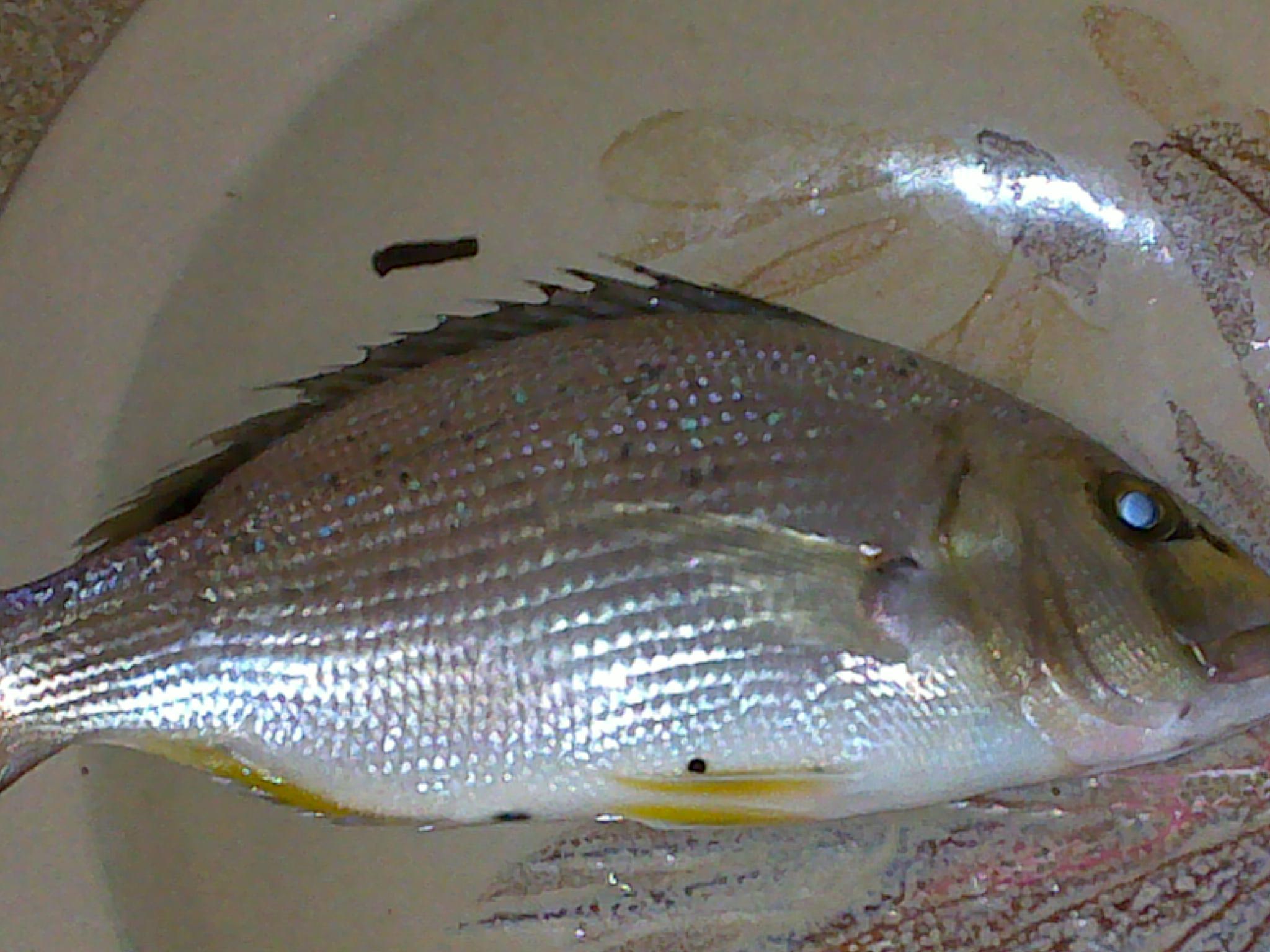 Pouvez vous m'aidez à reconnaitre ce poisson svp :) 739950dor2