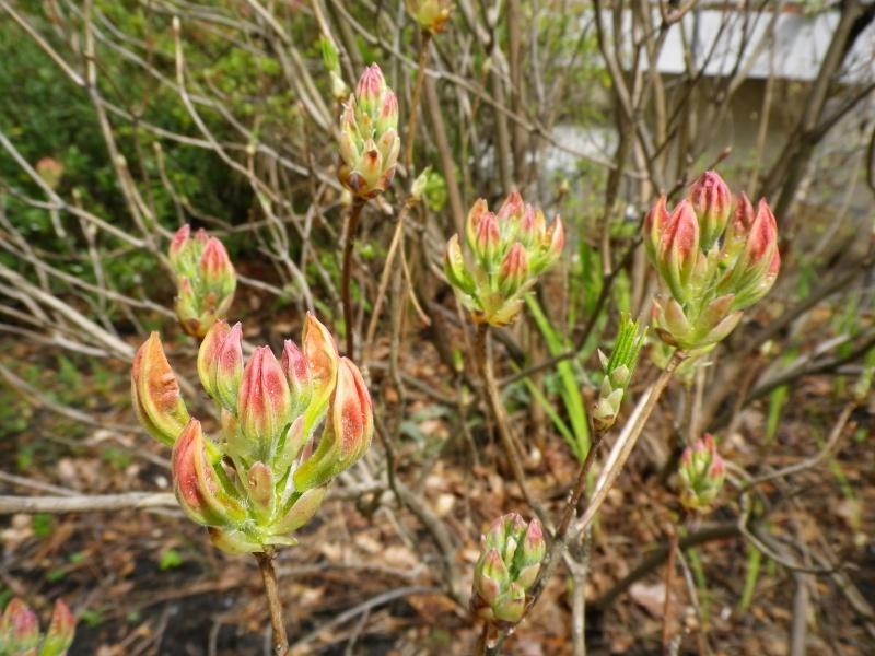 avril, jardin fébrile - Page 4 740885IMGP4058