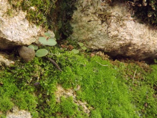 flore des vieux murs, rochers  et rocailles naturelles - Page 4 743703DSCF4868