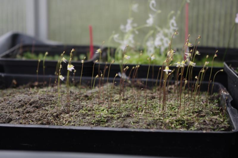 Utricularia Bisquamata 745594IMGP4713