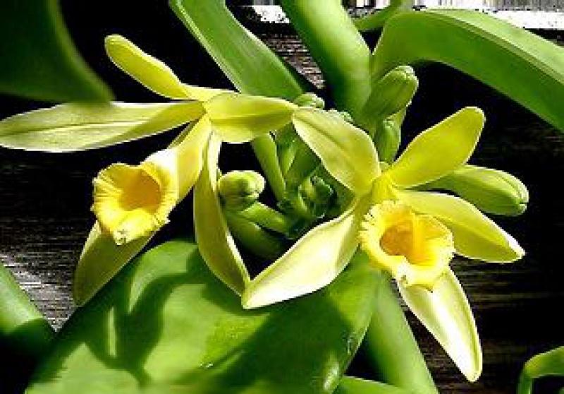 Quel est votre Plante, Arbre, fleur préféré que vous possédez ou non? Si vous n'en aviez qu'une à garder, Laquel/lequel garderiez-vous? 746636Vanillaplanifolia112686509
