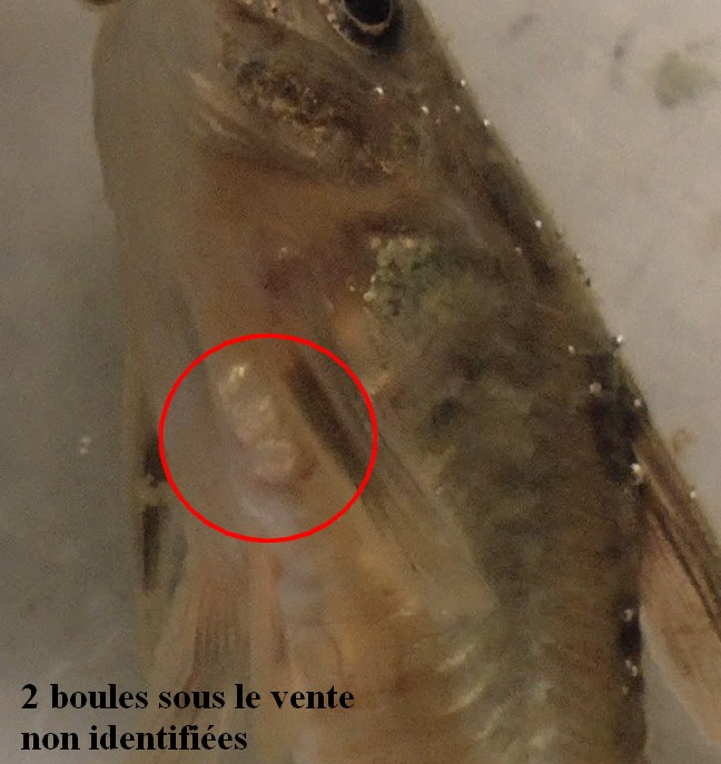 Mort Foudroyante Corydoras 753340Sanstitre6