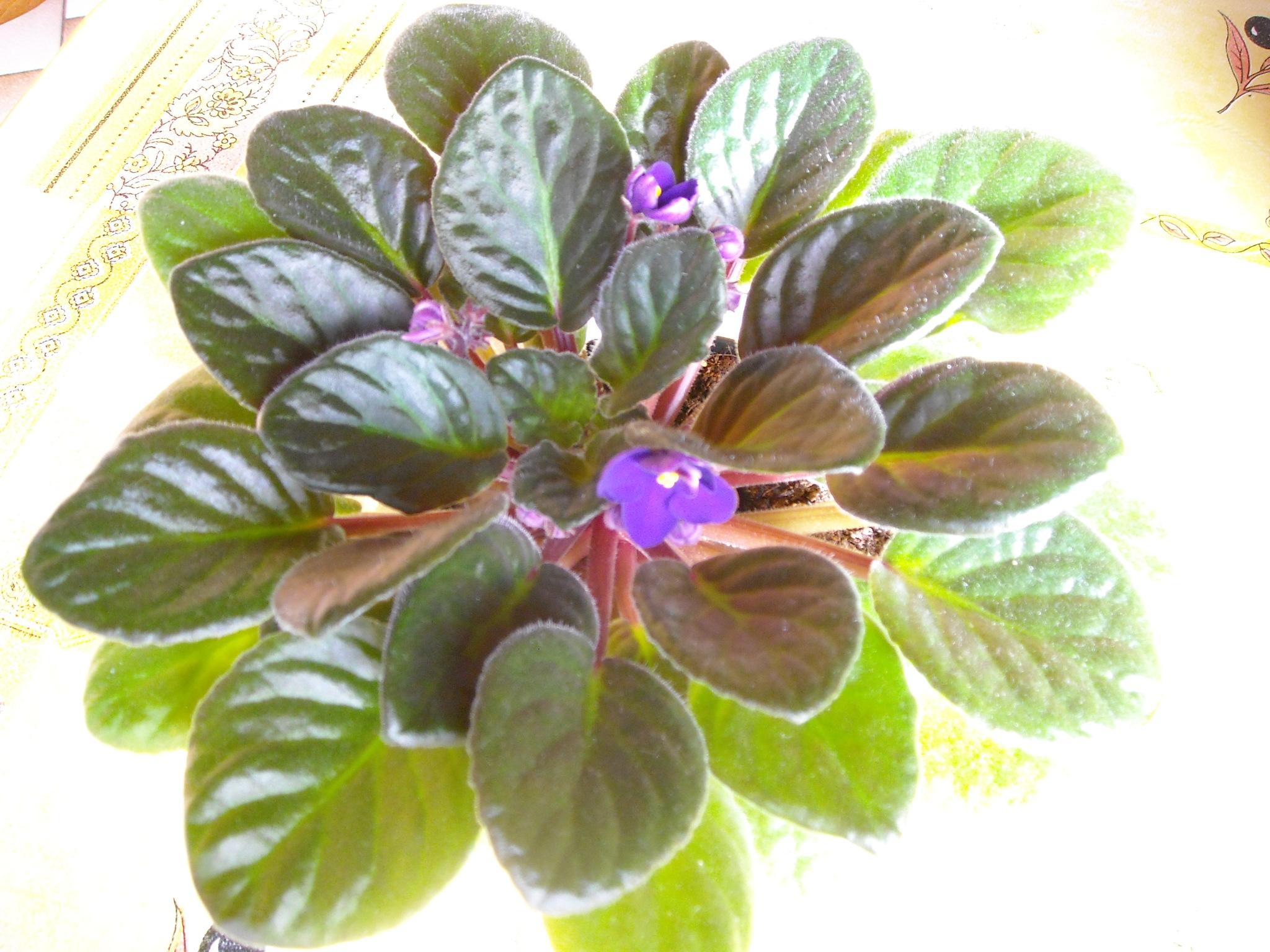 violette africaine,ou saint paulia 755007stpauliaetclivia001