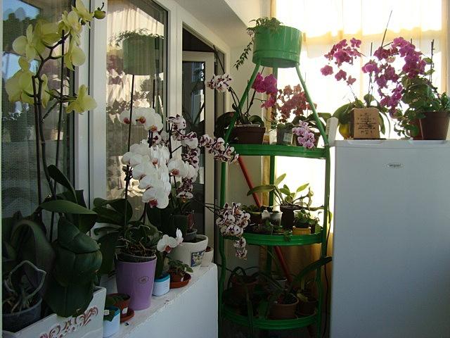 Reinflorire phalaenopsis forumul-florilor - Pagina 5 756760DSC00316