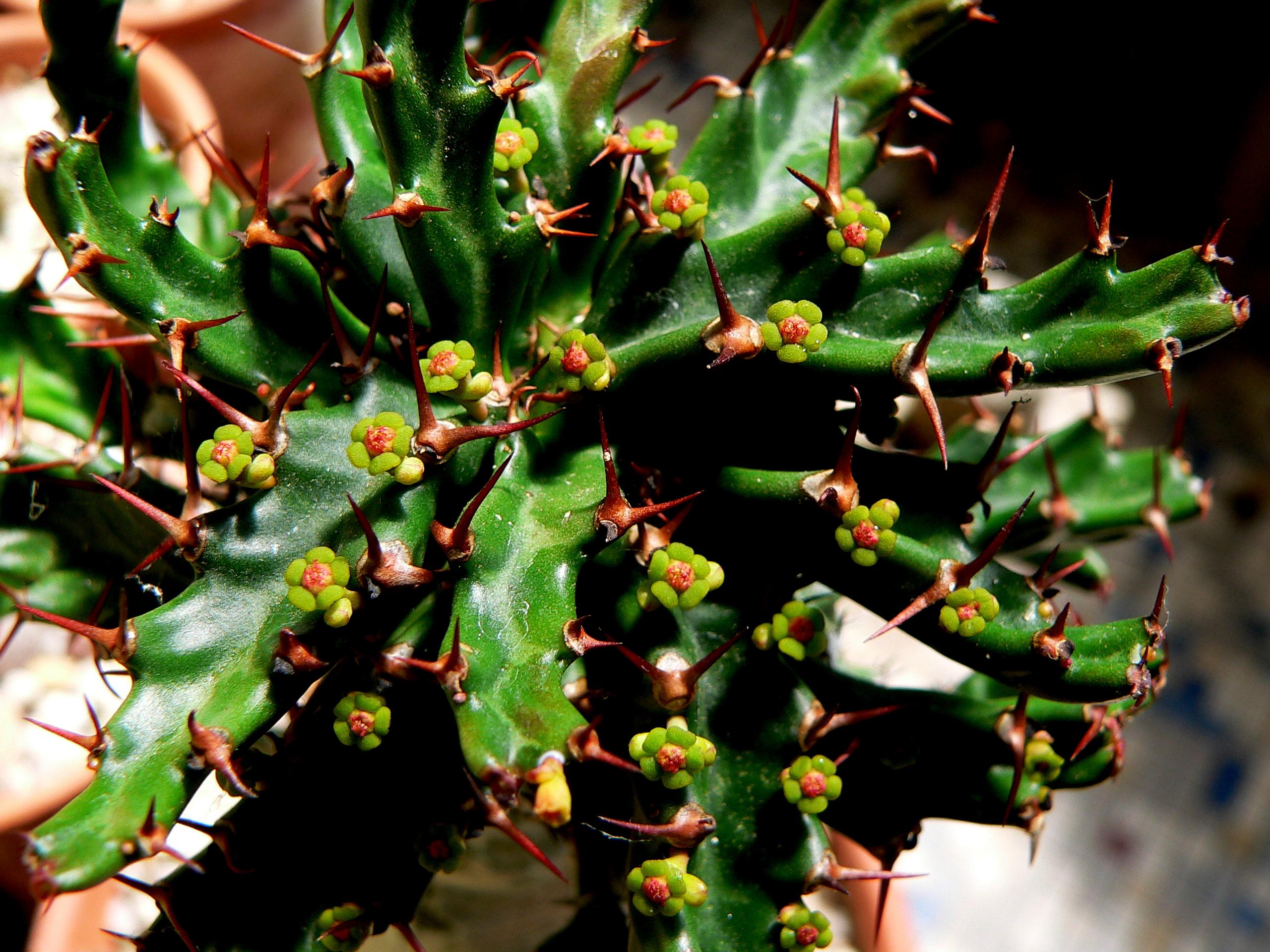 Euphorbia stellata 757268P1330086