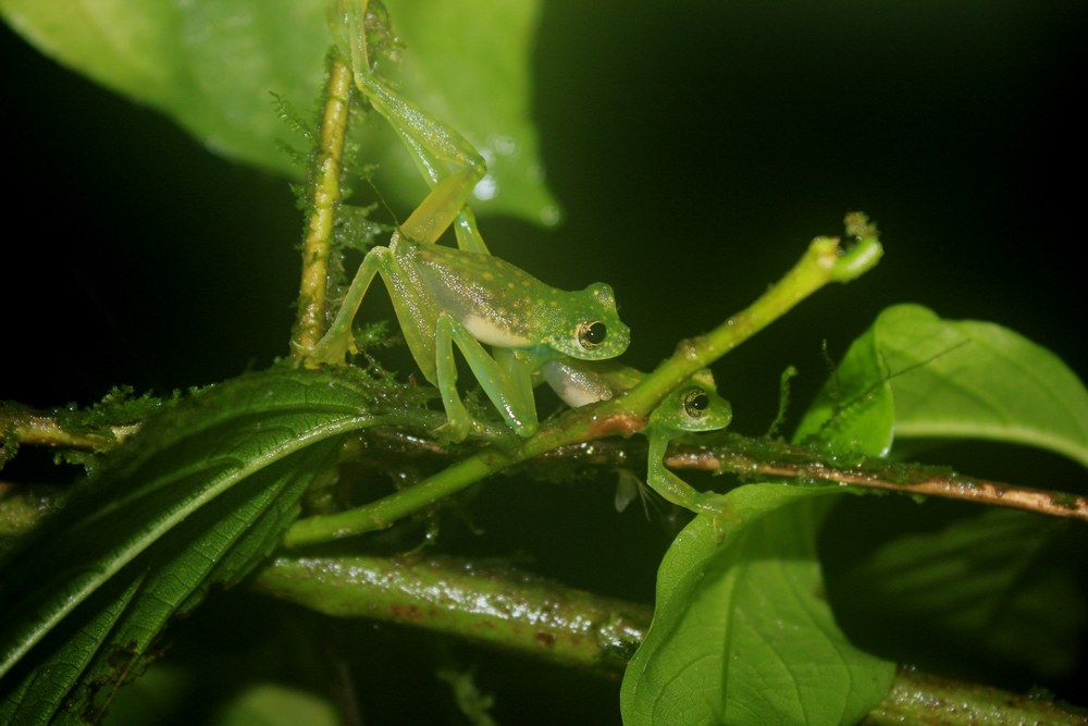 15 jours dans la jungle du Costa Rica - Page 2 759853fightingalbomaculata1r