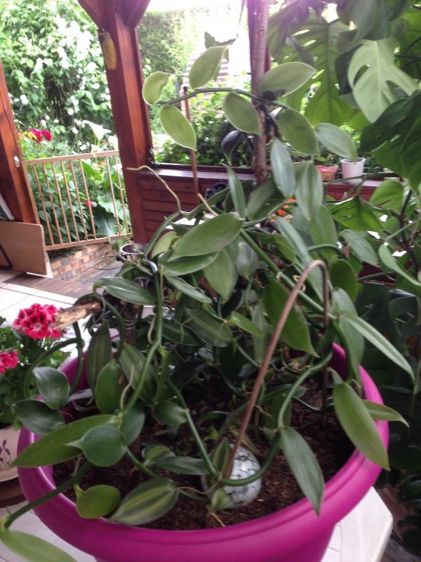 Culture et Entretien de la Vanilla Planifolia - Page 3 767829IMG5621