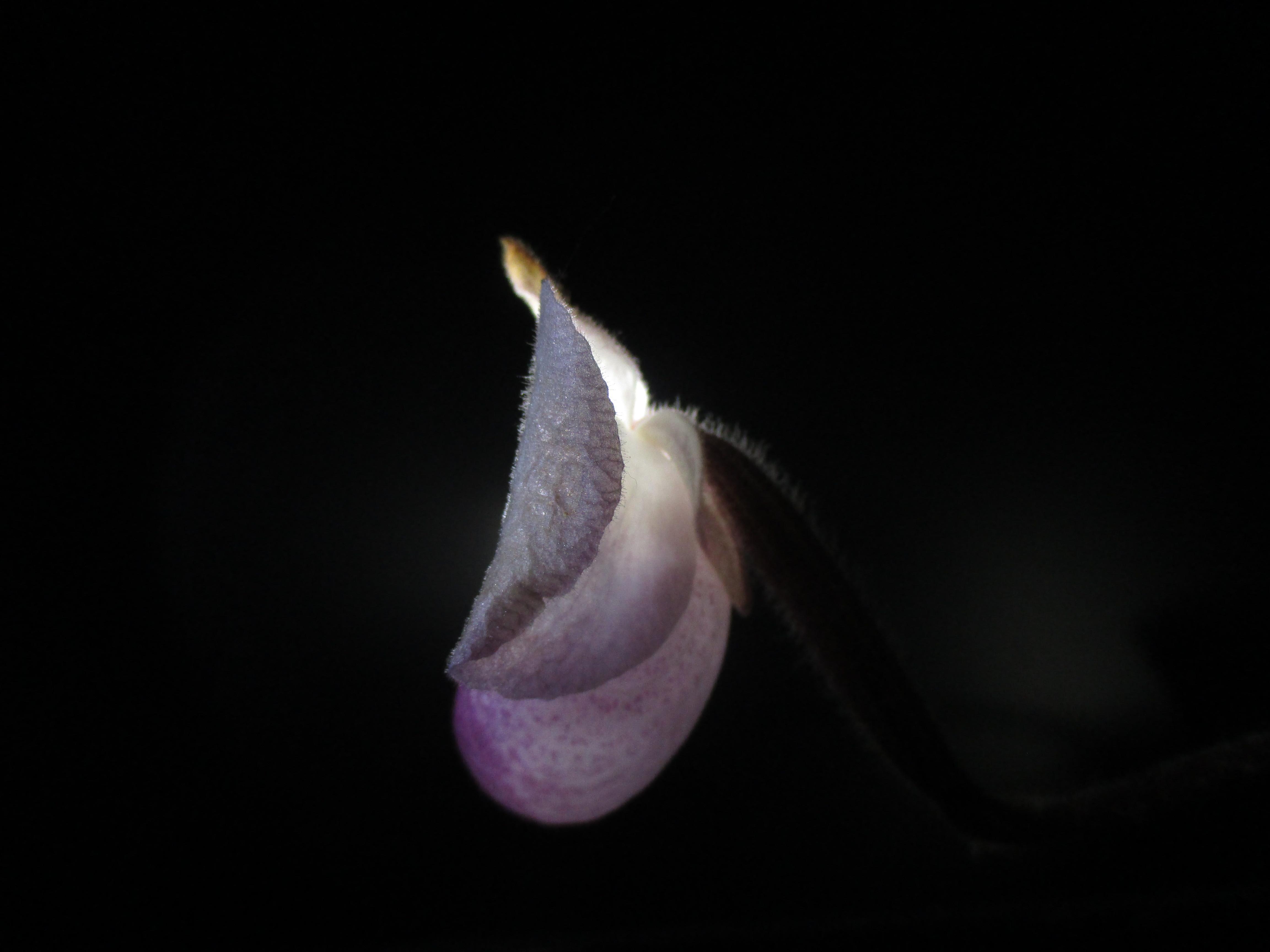 Paphiopedilum delenatii 770816IMG9375