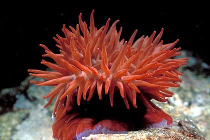 anemone de chez nous 772798anemone