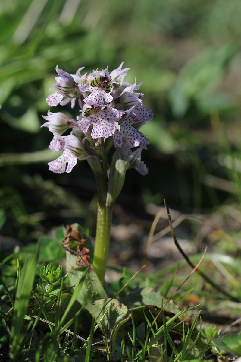 Neotinea corsica (Orchis de la Corse ) 777834IMG5896forum