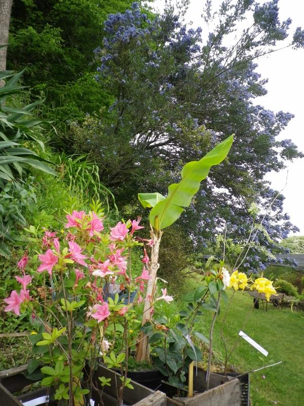 (40) Plantarium et chemin de ronde - Gaujacq - Page 2 779628IMGP4516
