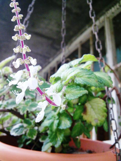 Floraisons de novembre 7799154.plectranthus_variegata