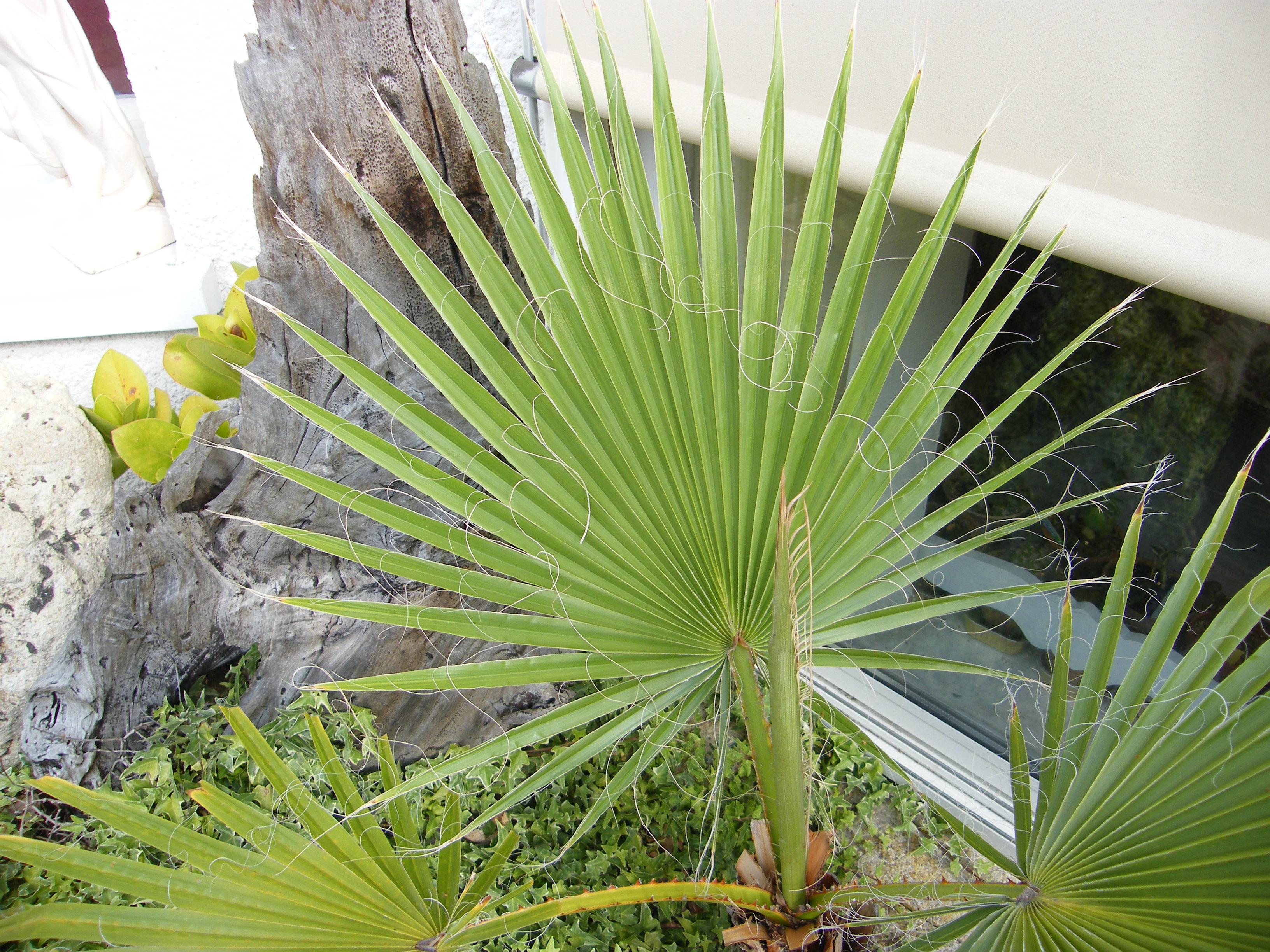 IDENTIFICATION  Palmier 1 [Washingtonia filifera] 790767Aout2011175