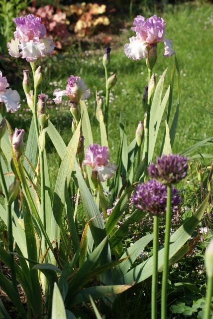 Associer nos iris à d'autres plantes pour de beaux massifs - Page 2 791113015