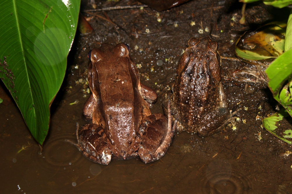 15 jours dans la jungle du Costa Rica 793824solidaritamphibienner