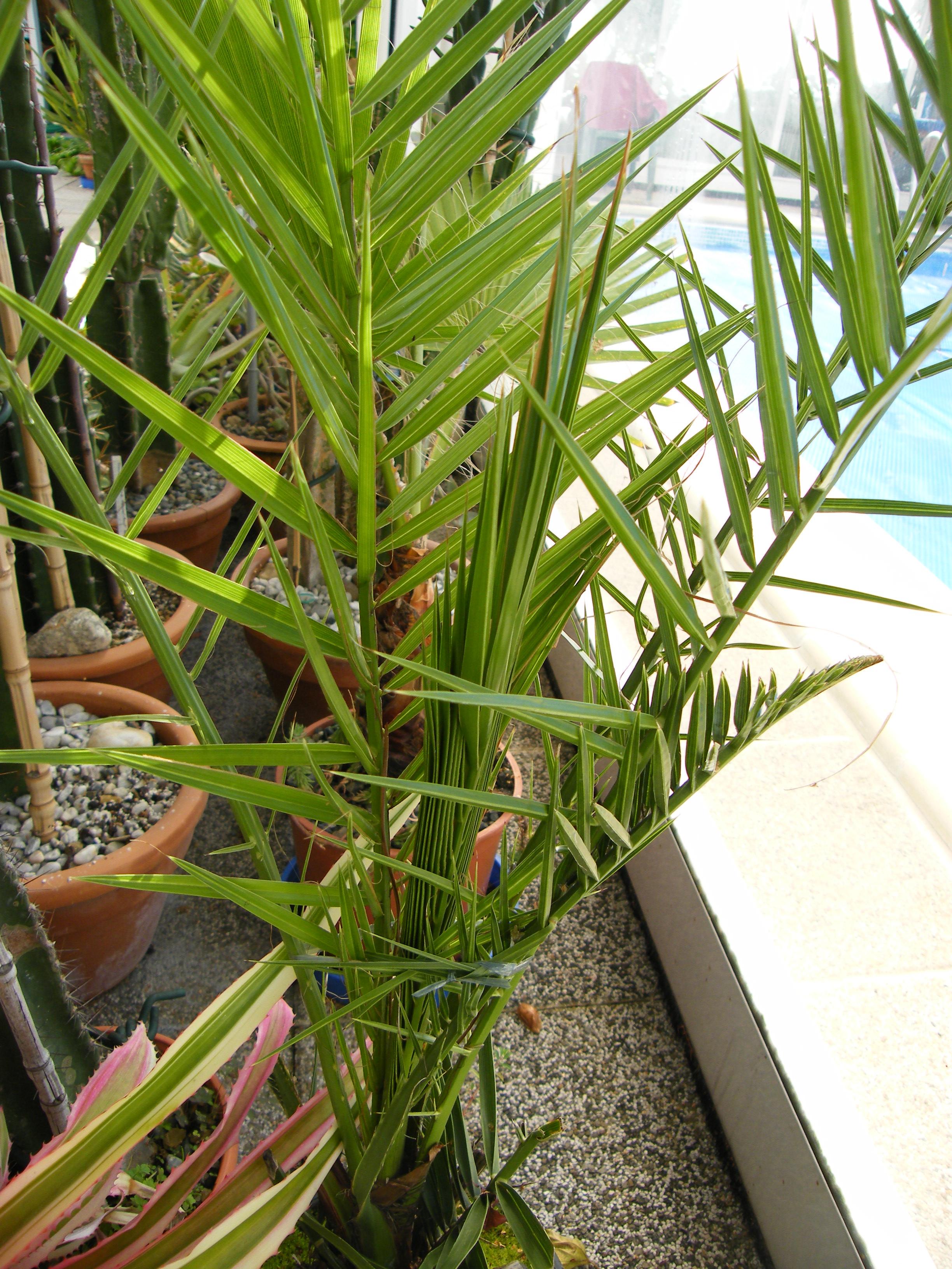 IDENTIFICATION Palmier 3 (Phoenix canariensis ) 799337Aout2011173