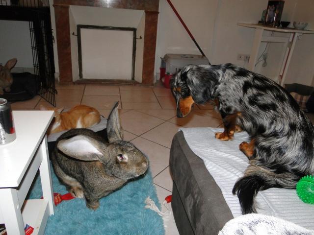 Cohabitation chien / lapins - Page 2 803018305