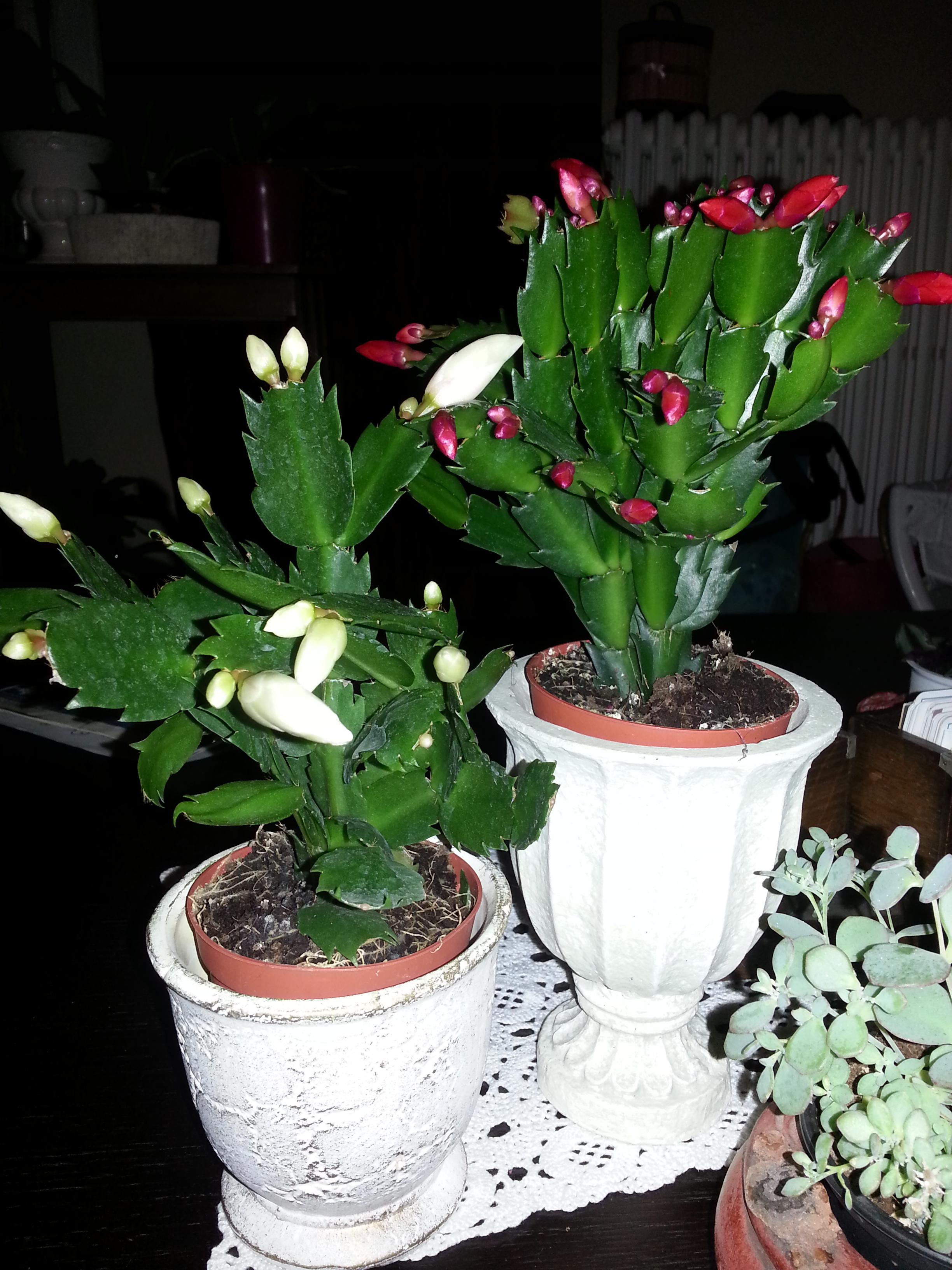 Schlumbergera blanc et rouge 80800420131206204243