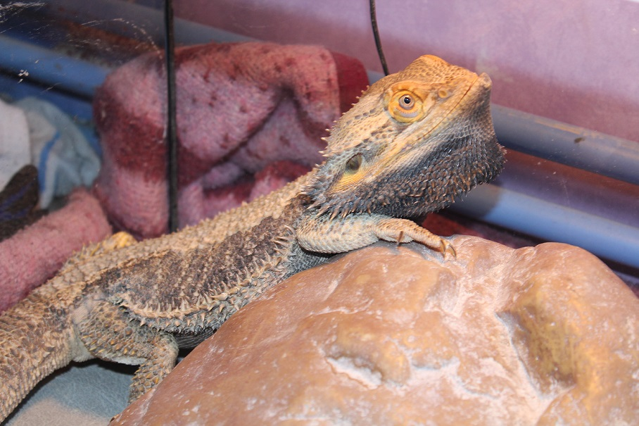 Besoin d'aide pour Bahamut (pogona) - Page 4 813518IMG3323