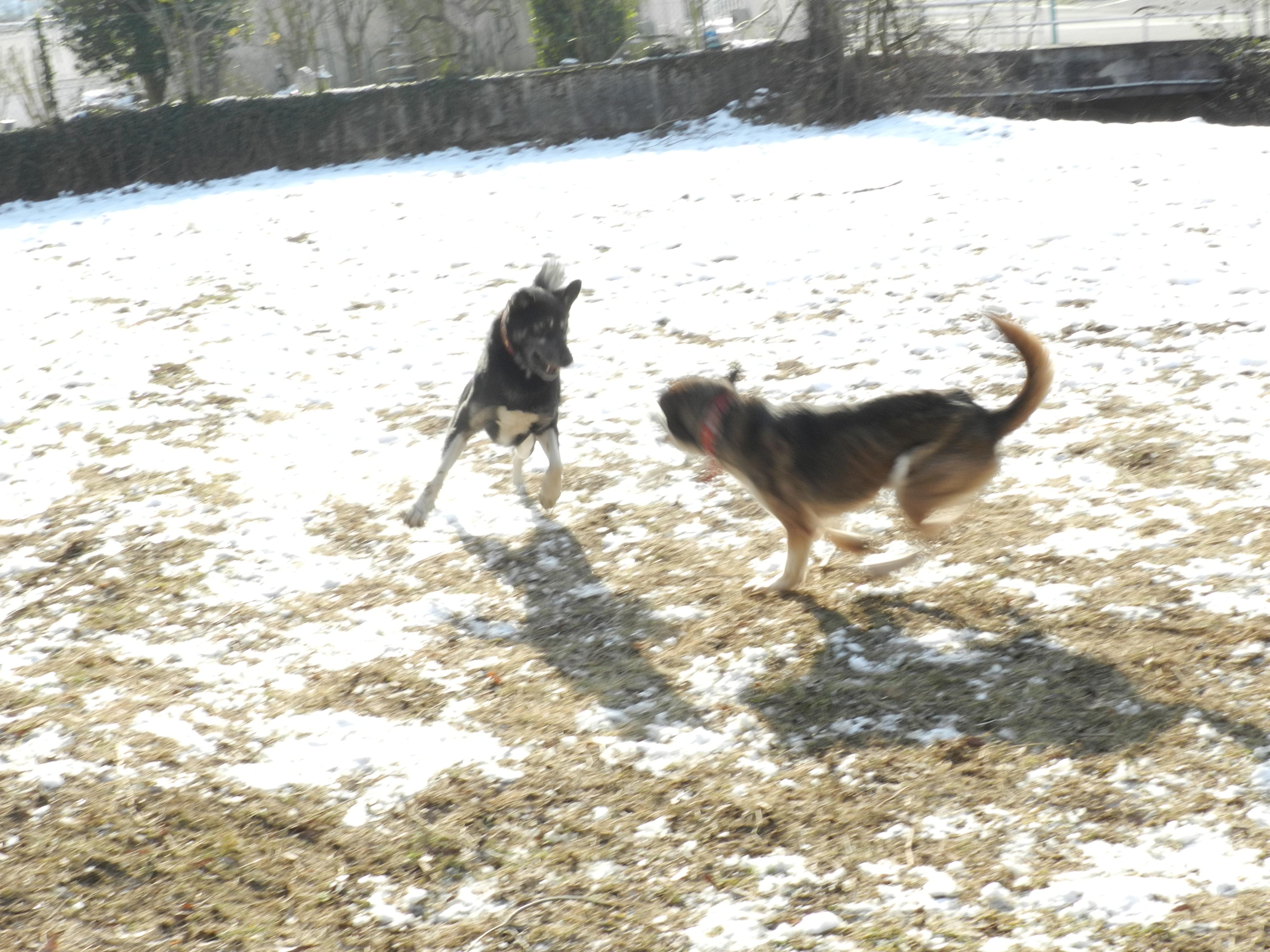 Link Berger X Husky mâle 5 ans gris et blanc PAR:38 ADOPTE 815488DSCN2056