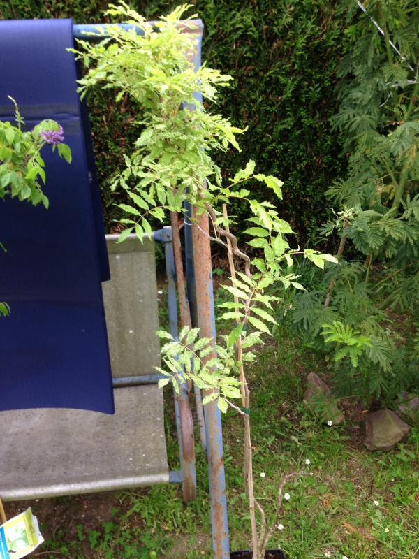 Wisteria Sinensis (Glycine de Chine) 817667IMG5688