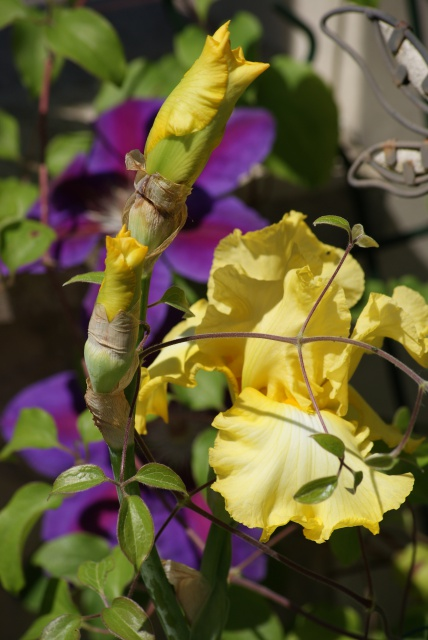 Associer nos iris à d'autres plantes pour de beaux massifs - Page 2 824807015