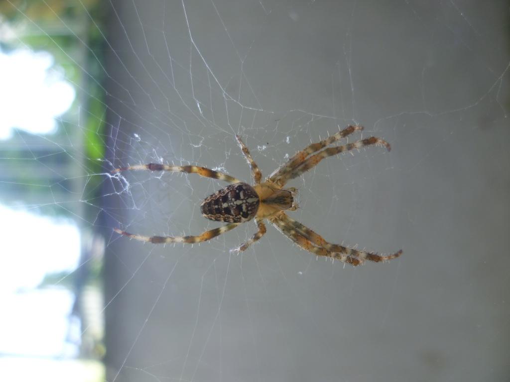 [Araneus diadematus] une belle épeire diadème 826161P1020309