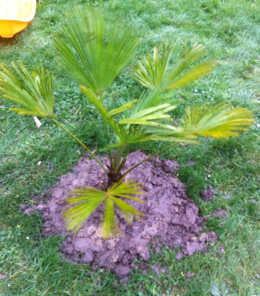 Planter Trachycarpus wagnerianus de 100 cm en Hivert 8310391089142410152981609989154777108711984312822n