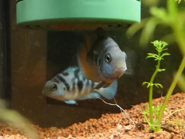 Ma Fish'étagère et les autres  - Page 6 832640DSC07084