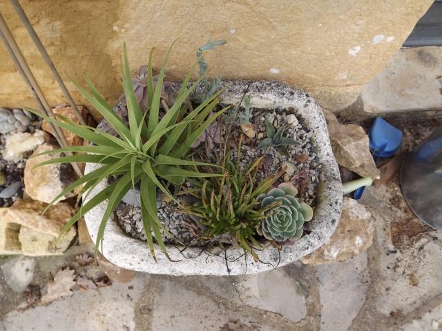 rusticité des cactus et succulentes en extérieur - listes - Page 2 841972DSCF0389