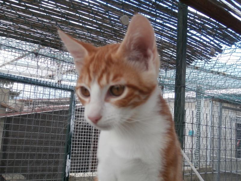 GATO (chaton mâle roux et blanc) 843534P8161590