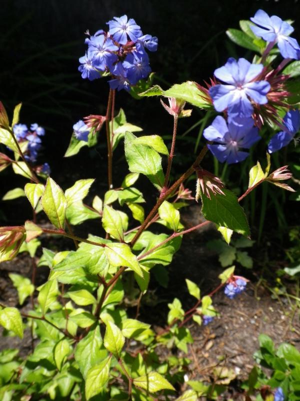 cadeaux du jardin, juin juin - Page 4 845867CeratostigmawillmottianumIMGP4774