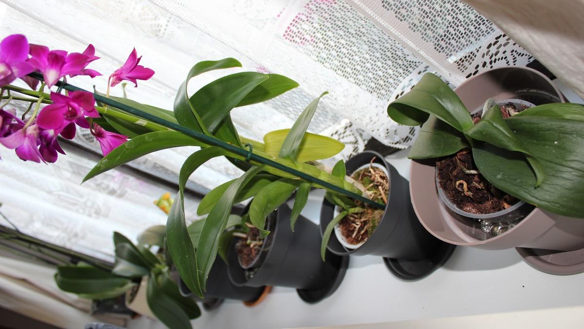 Les orchidées chez moi 846560IMG9671